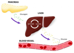 Glycogen