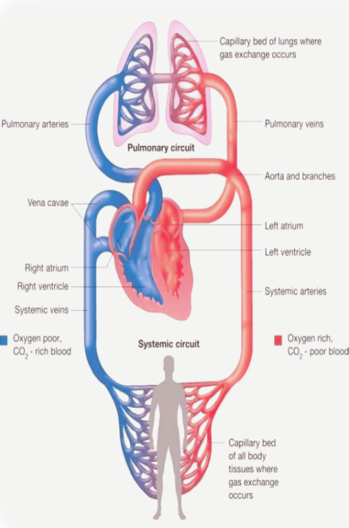How-To-Understand-Physiology-And-Endurance-Training-the-circulatory-system-illustration