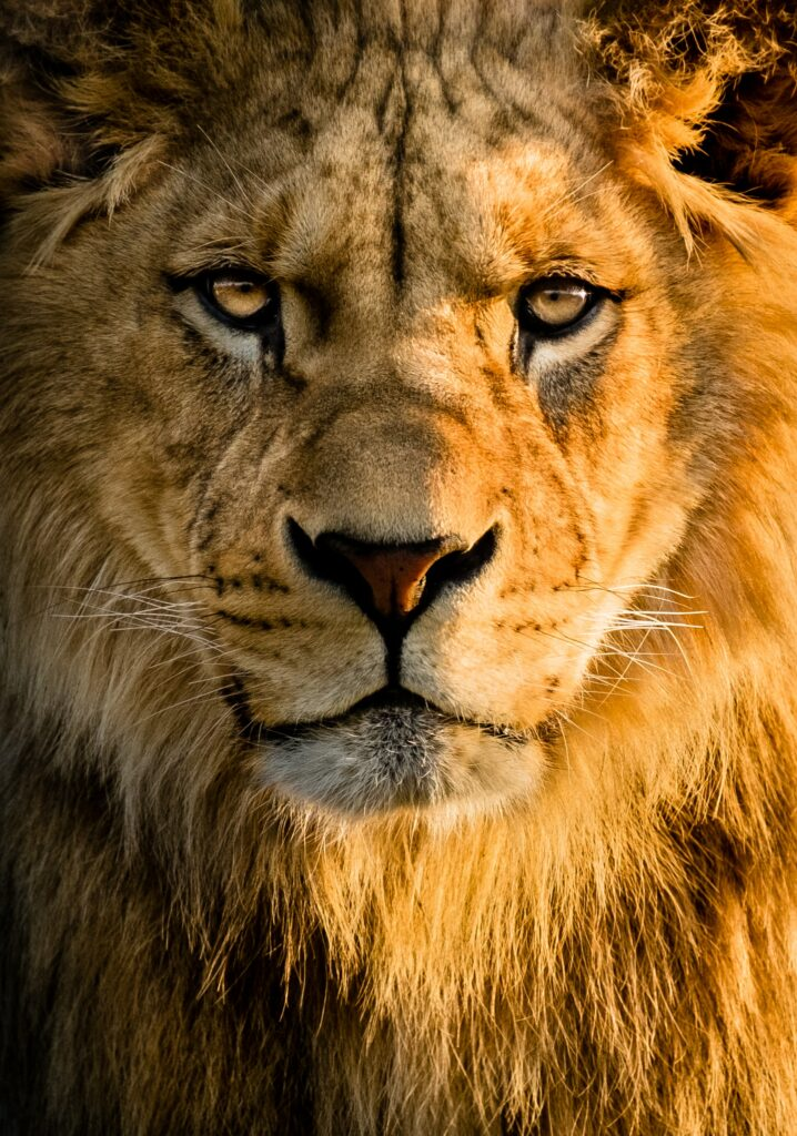 Discover-How-To-Increase-Your-Running-Motivation-lion