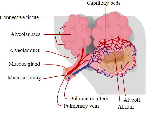why-running-is-important-Pulmonary-system
